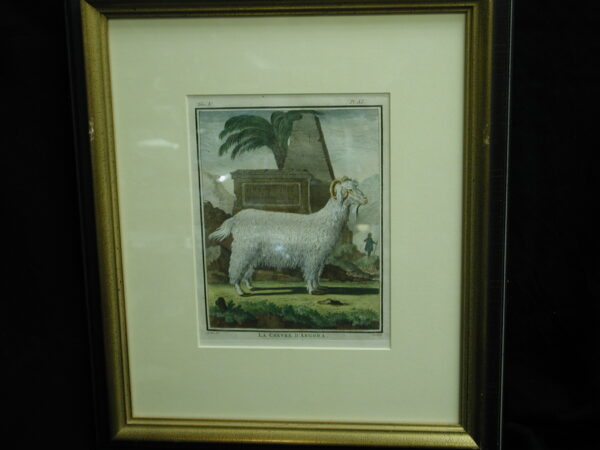 18th C. French Engraving hand colored La Chevre D'Angora Zoology framed Print