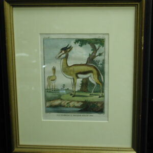 18th C. French engraving hand colored La Gazelle A Bourse Sur Le Dos Zoology print
