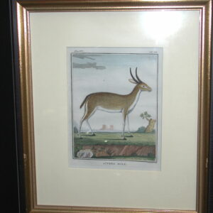 18th C. French Engraving hand colored Ritbok Male Zoology framed print