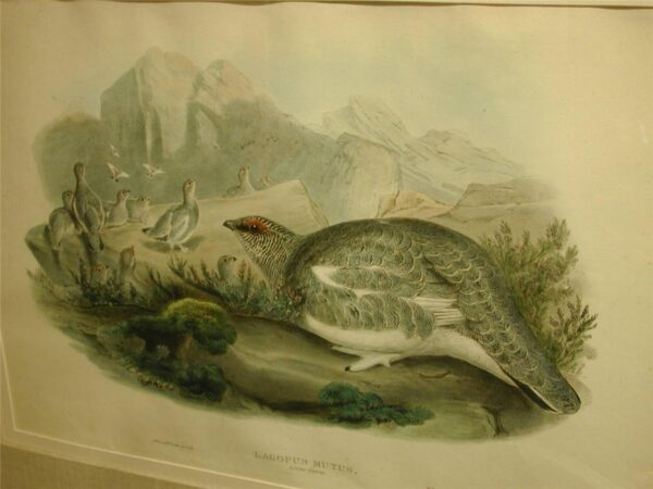 Walter & Cohn handcolored Richter Wolf 1820 original lithograph Lagopus Mutus